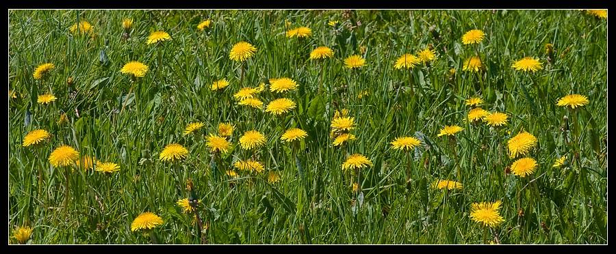 http://www.foto-dfg.de/images/WZ/2010/Eifel/20100522%207787%20Loewenzahn_co.jpg