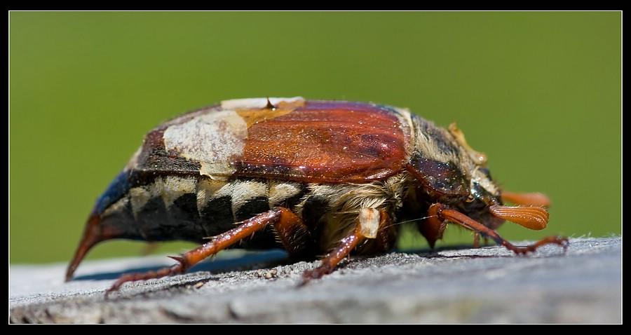 http://www.foto-dfg.de/images/WZ/2010/Eifel/20100522%207820%20Maikaefer_co.jpg