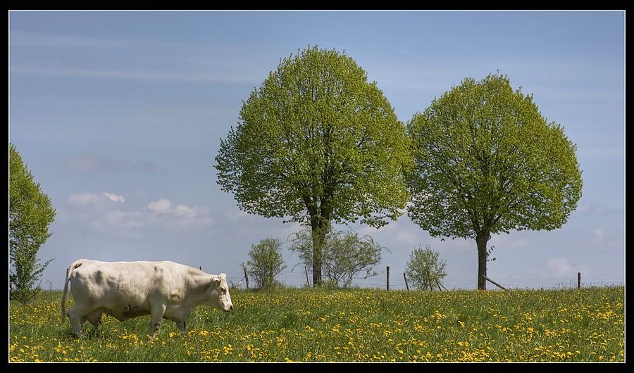 http://www.foto-dfg.de/images/WZ/2010/Eifel/20100522%207838%20Kuh_co.jpg