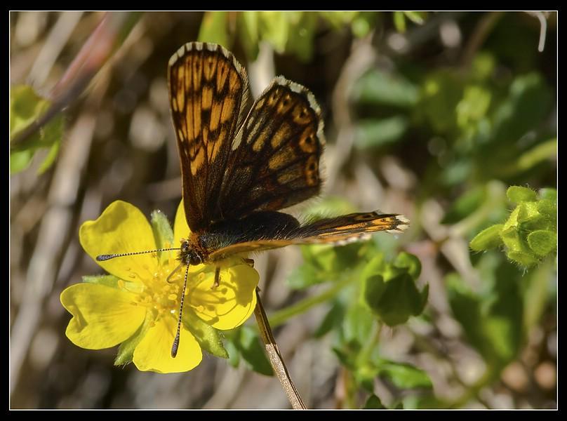 http://www.foto-dfg.de/images/WZ/2010/Eifel/20100522%207947%20Schluesselblumen%20Wuerfelfalter_co.jpg