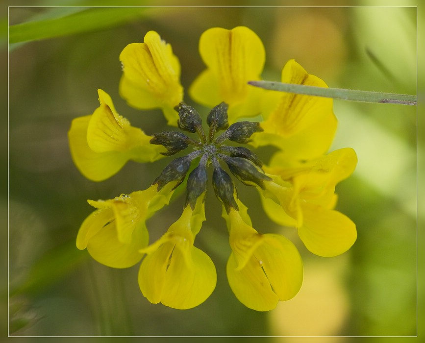 http://www.foto-dfg.de/images/WZ/2012/Eifel2/20120526%204994%20Hufeisenklee%20-%20Hippocrepis%20comosa_s.jpg