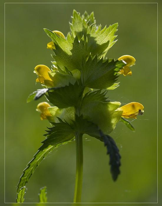 http://www.foto-dfg.de/images/WZ/2012/Eifel2/20120526%205208%20Kl%20Klappertopf_s.jpg