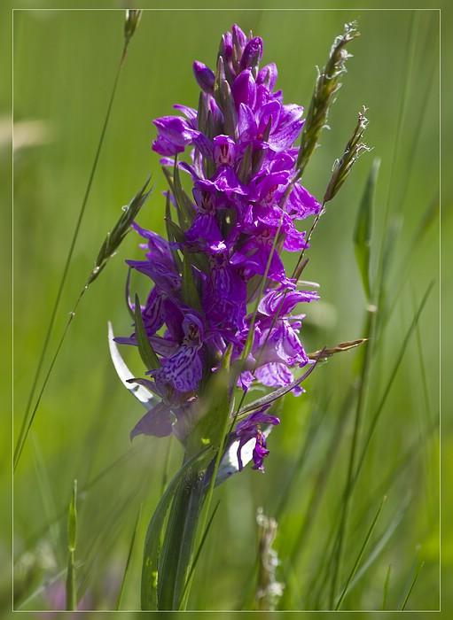 http://www.foto-dfg.de/images/WZ/2012/Eifel2/20120526%205253%20Dactylorhiza%20majalis_s.jpg