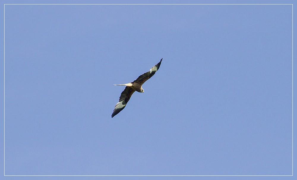http://www.foto-dfg.de/images/WZ/2012/Eifel2/20120526%205277%20Rotmilan_s.jpg