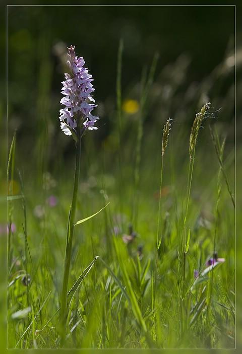 http://www.foto-dfg.de/images/WZ/2012/Eifel2/20120526%205343%20Dactylorhiza%20maculata_s.jpg