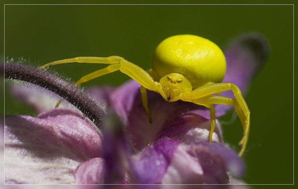 http://www.foto-dfg.de/images/WZ/2012/Eifel2/20120526%205375-77%20Krabbenspinne_s.jpg