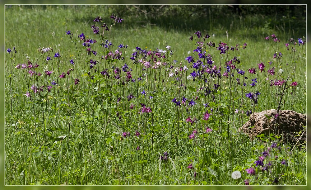 http://www.foto-dfg.de/images/WZ/2012/Eifel2/20120526%205389%20Akelei_s.jpg