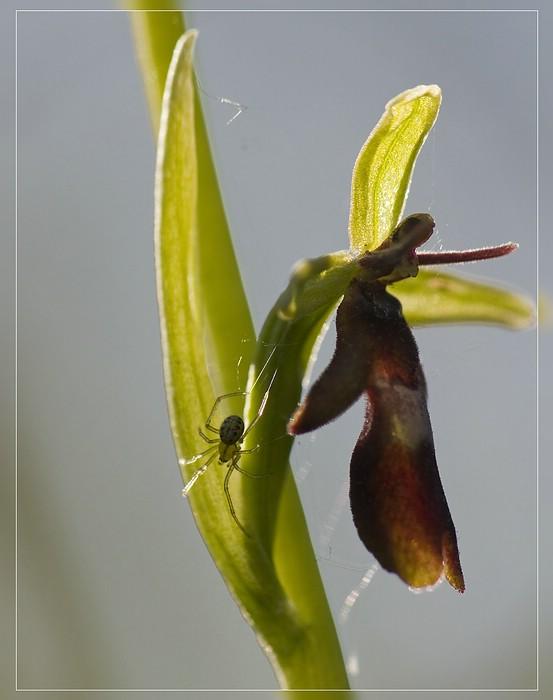 http://www.foto-dfg.de/images/WZ/2012/Eifel2/20120526%205553%20Ophrys%20insectifera%20Spinne_s.jpg