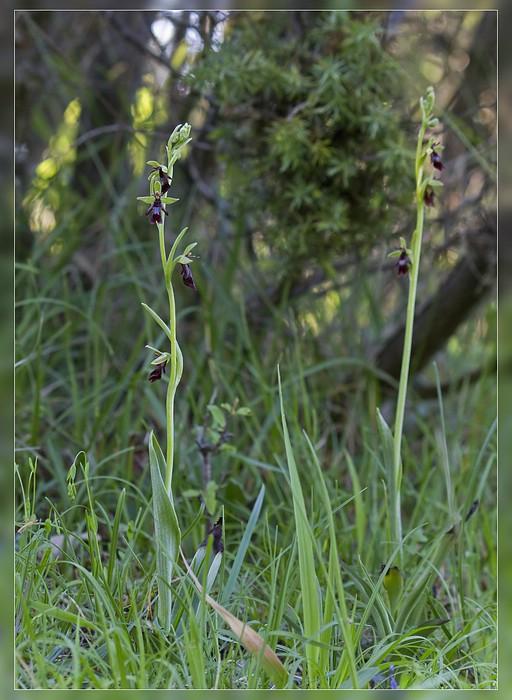 http://www.foto-dfg.de/images/WZ/2012/Eifel2/20120526%205564%20Ophrys%20insectifera_s.jpg