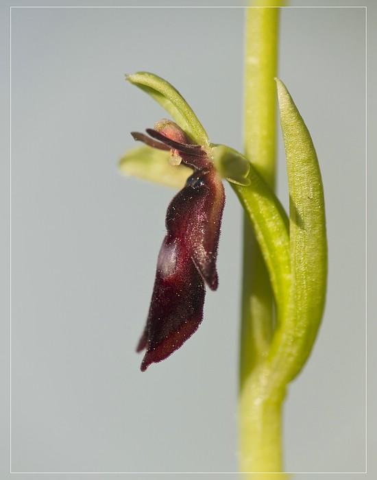 http://www.foto-dfg.de/images/WZ/2012/Eifel2/20120526%205569%20Ophrys%20insectifera_s.jpg